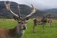 Gorski jelen ponovo na Kopaoniku